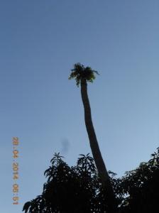 Burung - burung meikmati buah beringin dan menyemainya di puncak pohon kelapa yang telah mati. Itulah kehidupan baru dan istimewa.
